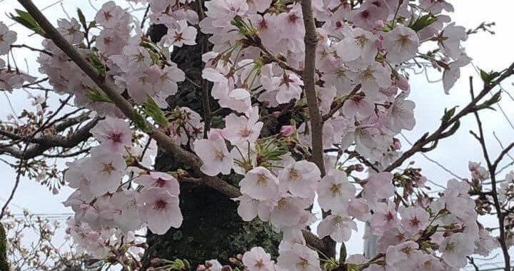 Lenda de Sakura.